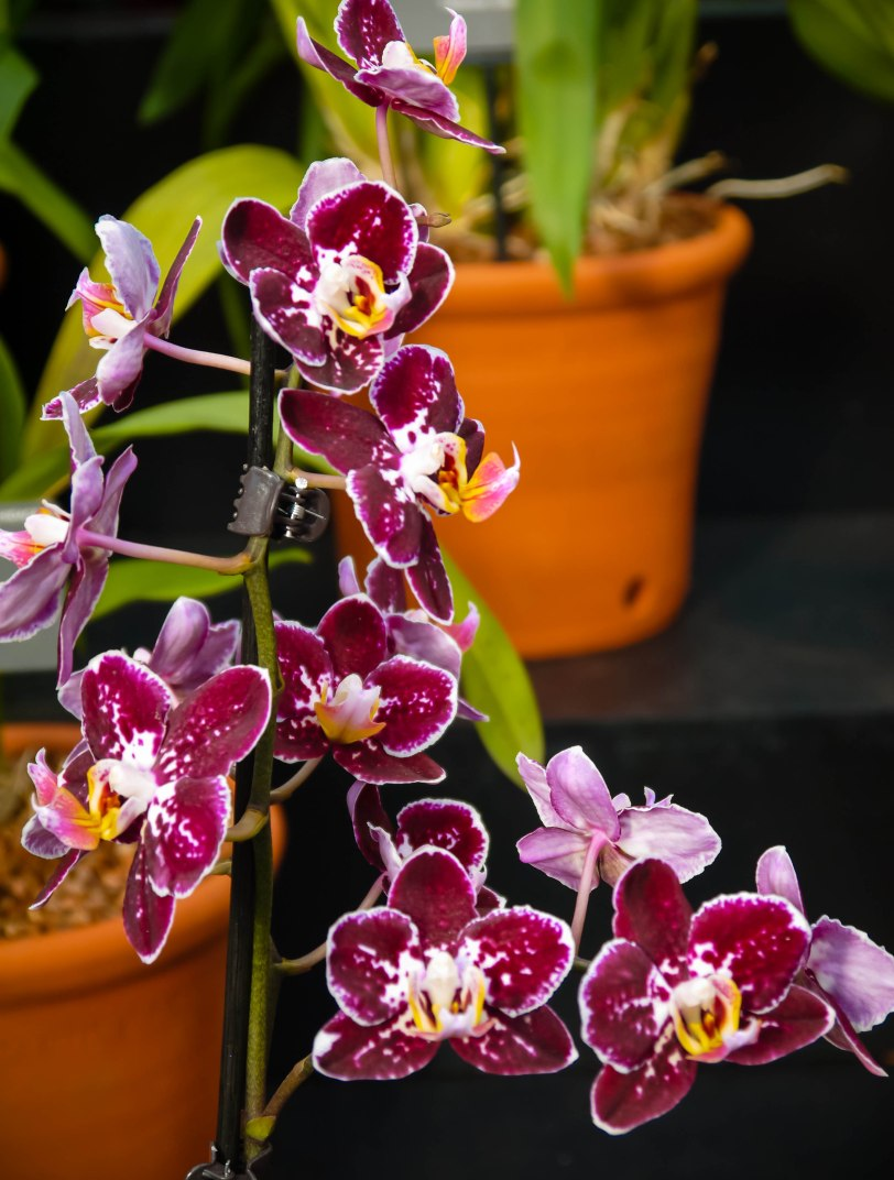 Orchid Show (12)