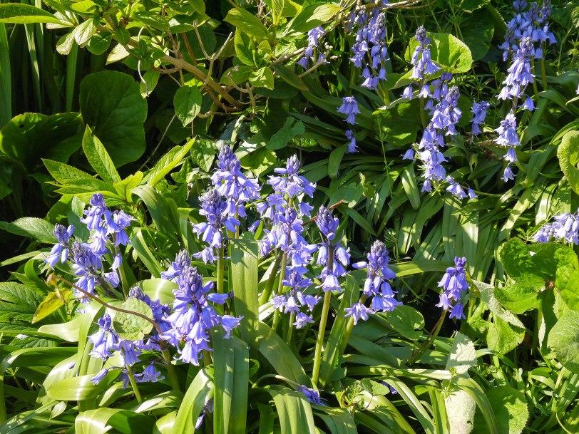 Bluebells (1)
